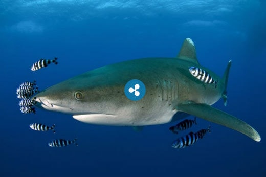 ripple-is-shark